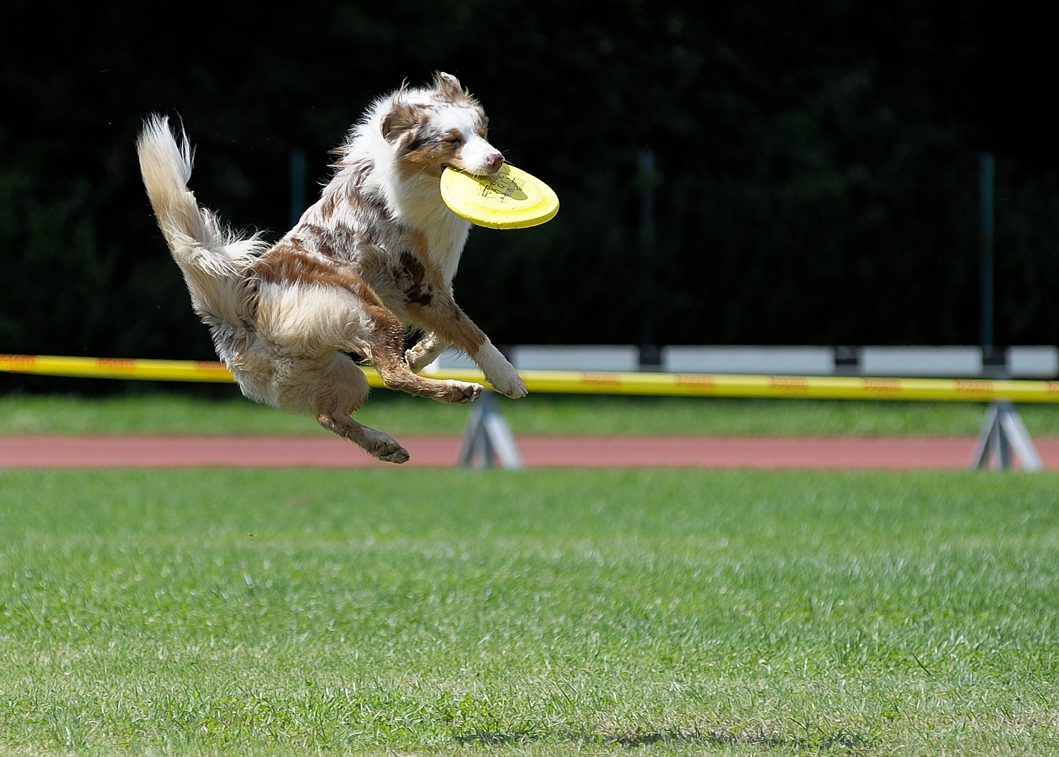 Flyball - canine game discipline